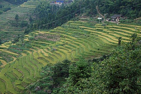 Reisterrassen von Ziquejie: Jiulongpo (九龙坡, Steigung der neun Drachen)