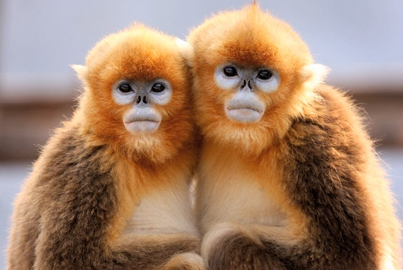 Goldene Affen in Sichuan
