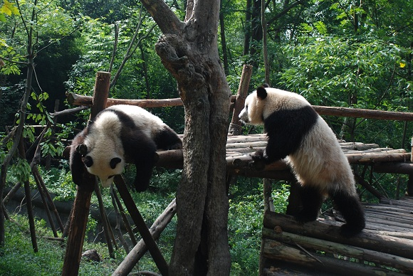 Große Pandabären in Chengdu