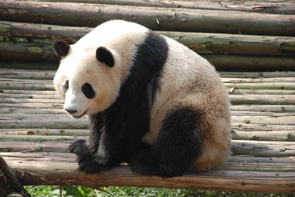 Panda in Sichuan