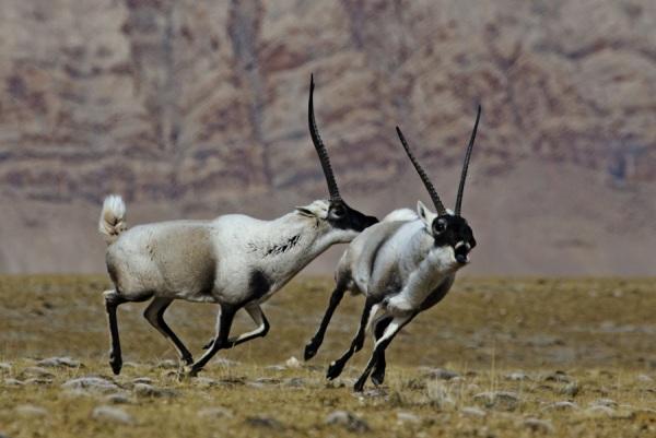 Tibetische-Antilope in Kekexil
