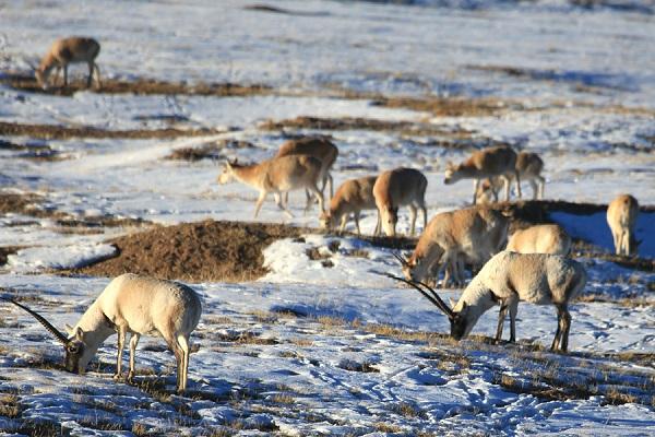 Tibetische-Antilope in Kekexili
